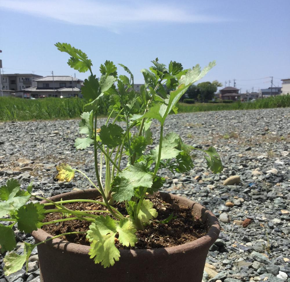 パクチーを鉢植えしました
